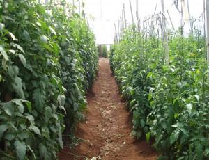 Plantação de tomates: na esquerda plantas enraizadas em talhão cultivado anteriormente com ADR-300, e na direita talhão onde não foi implantado o milheto da Sementes Adriana.